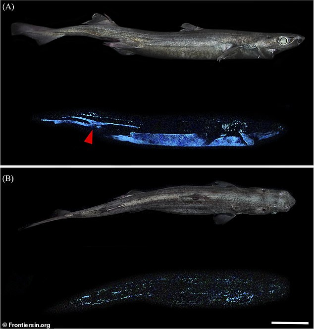The team found two other sharks with bioluminescence abilities - a blackbelly lanternshark (pictured) and southern lanternshark
