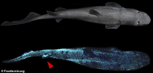 The kitefin shark can grow nearly six feet long and typically lives 984 feet below sea level, deeming it the largest known glowing vertebrate. Experts suggest the shark uses the ability as camouflage when attacking prey