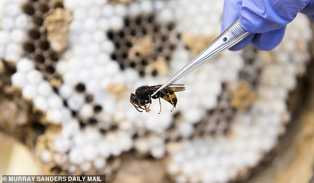 Foreign invaders: Asian hornets (pictured) are ruthless killers of other flying insects, particularly honey bees, and can consume up to 50 a day
