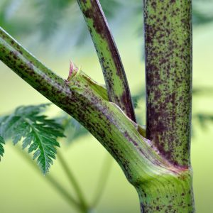 The stem of the poisonous hemlock plant, with purple spots along with a leaf