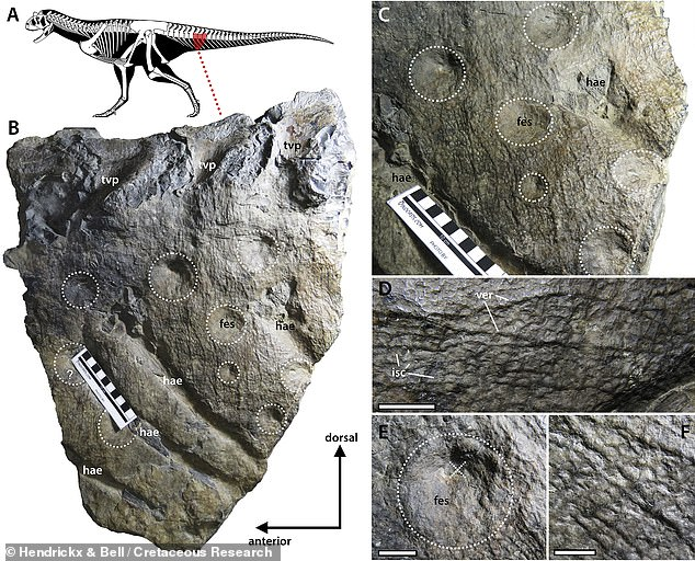 The updated reconstruction comes after palaeontologists led from the Unidad Ejecutora Lillo in Argentina examined its fossilised skin in closer detail. Pictured: a natural, negative relief mould of the skin on the right side of Carnotaurus' anterior tail region, with close-ups