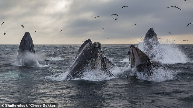Sperm-whale super swarms may have formed in New South Wales two Septembers in a row because cruise ships and other maritime traffic has been missing during the pandemic. It's also possible they're simply exhibiting typical behavior that stopped when the whales were hunted nearly to extinction. Pictured:A pod of humpback whales lunge feed in Monterey Bay, California