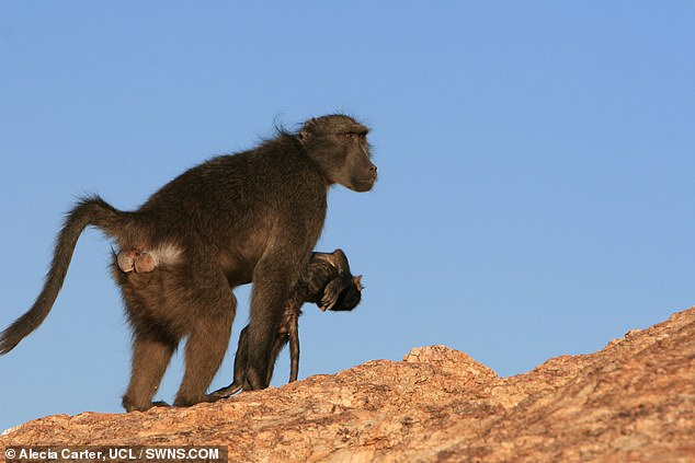 Primate mothers who suffer the death of an infant grieve by carrying the corpse with them ¿ sometime for months after the tragedy ¿ a study has concluded. Pictured: a mother baboon in Namibia seen carrying her dead infant with her