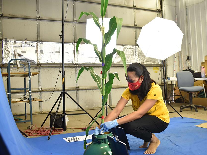 Scientist preparing corn plant