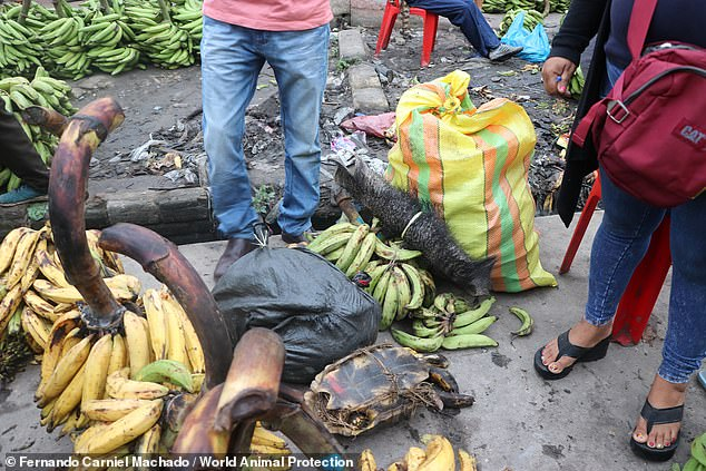 Although the sale of wild animals at urban markets is illegal in Peru, illegal wildlife trade is still an ongoing issue