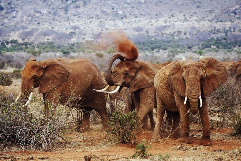Elephants in Tsavo East
