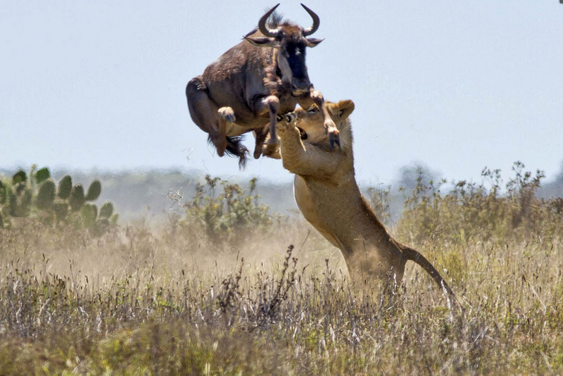 Lioness Hunting in Masai Mara