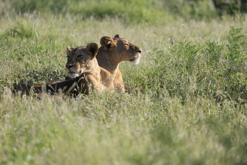 Lions in Meru National Park