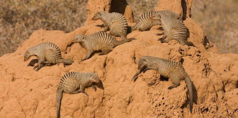 Tarangire National Park Banded Mongoose