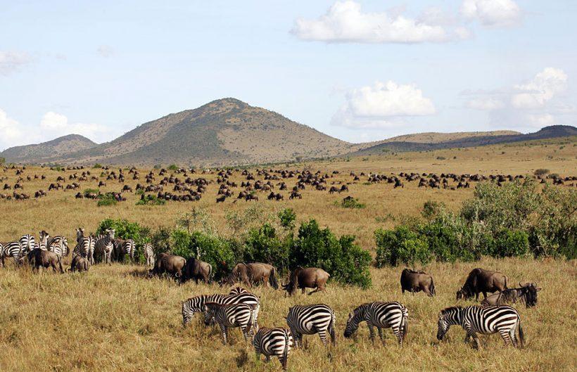 Zebra's Masai Mara