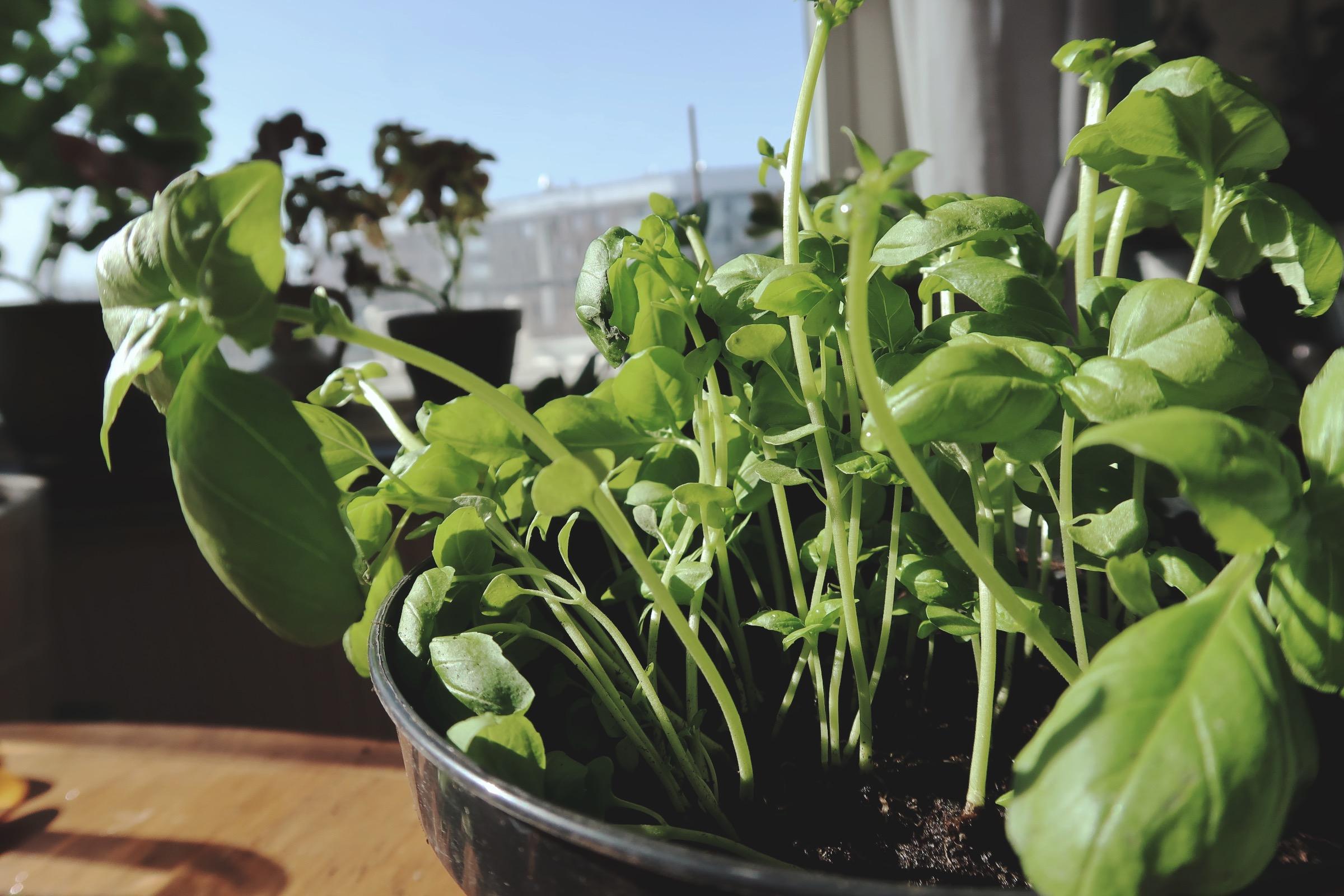 Odling i lägenhet - Basilika