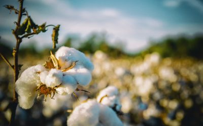 Ever heard of authentic organic cotton? Even better than 'normal' organic cotton.