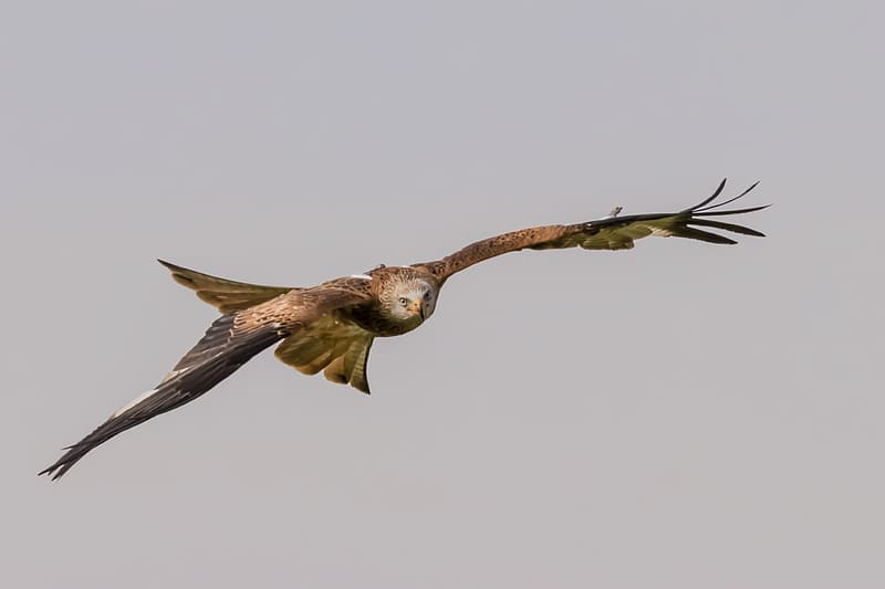 Red Kites Sorring above the Valleys of Christmas common