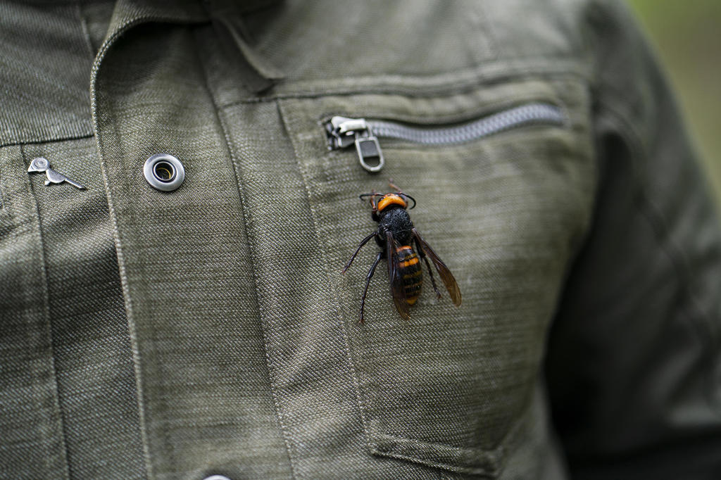 In Japan, the 'murder hornet' is both a lethal threat and a tasty treat