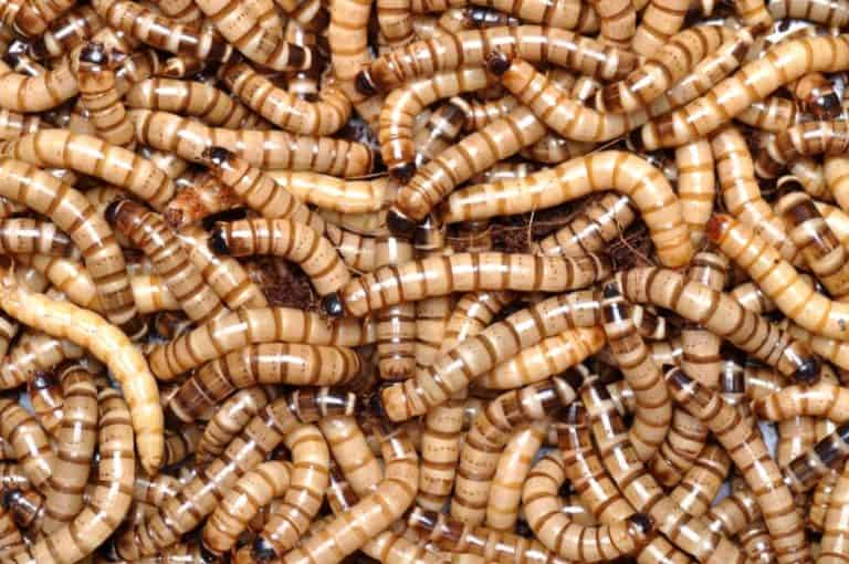 Washington mealworm start-up closes A1 funding