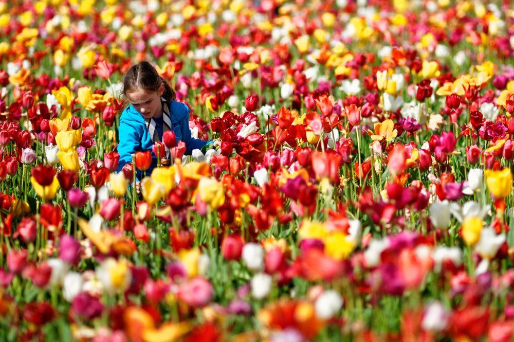 Picking tulips, April 2012