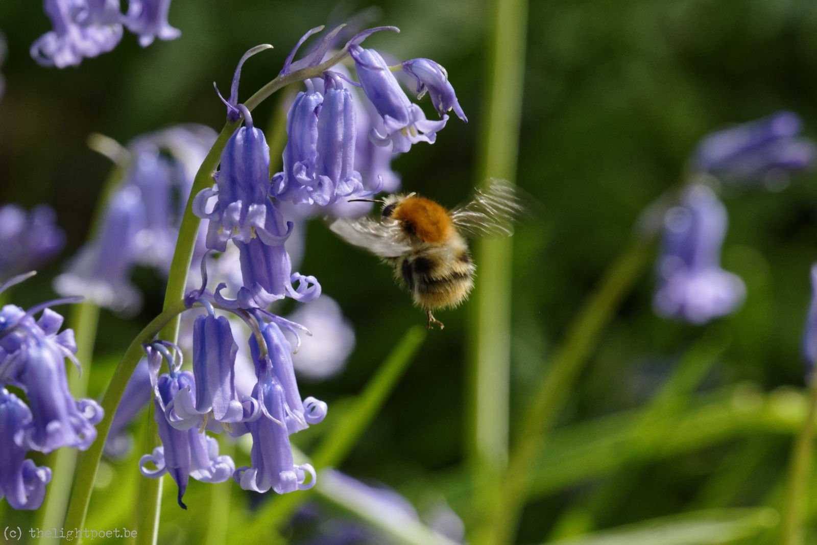 Bees and bluebells, April 2018