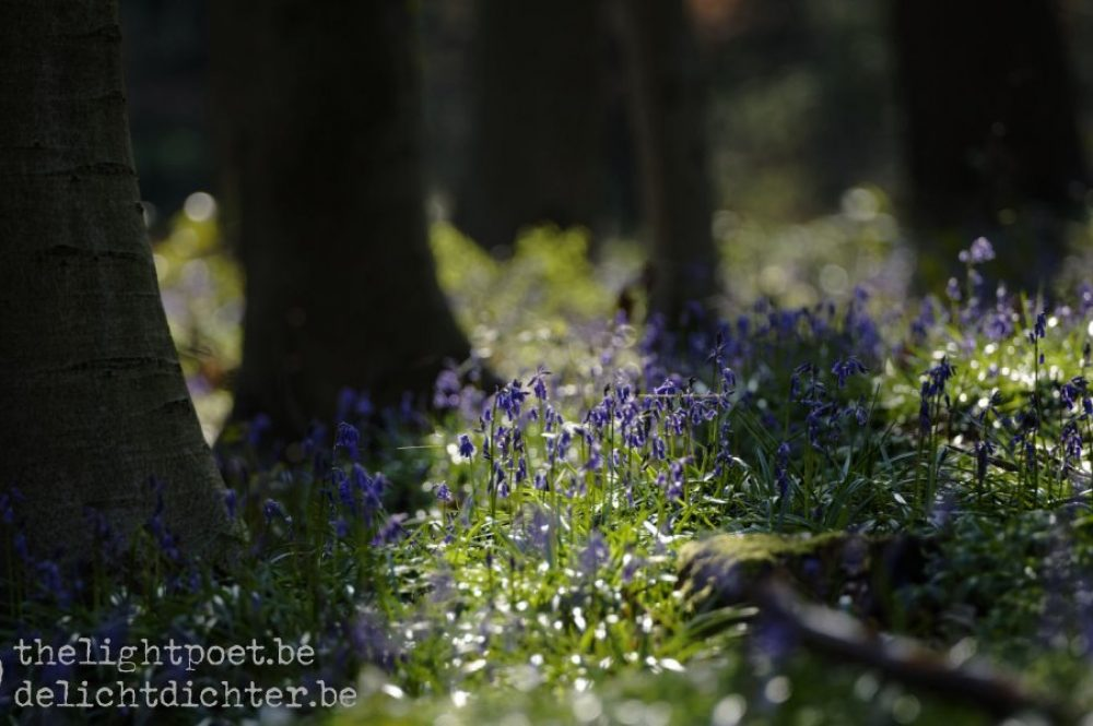Bluebells, April 2019