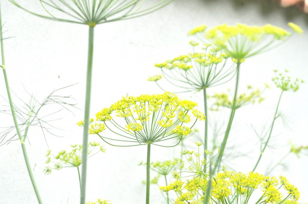 Dild i blomst