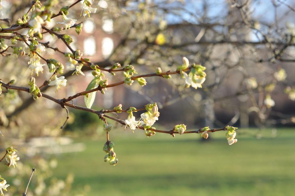 Lonicera fragrantissima Vinterblomstrende gedeblad