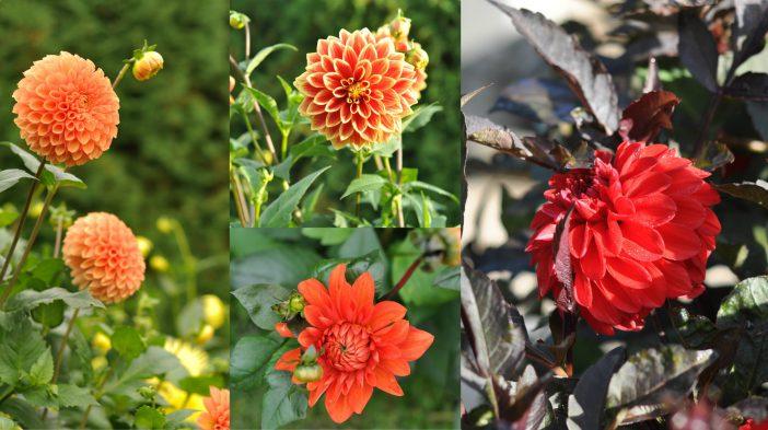Blomsterbed med dahlia i abrikos og rød