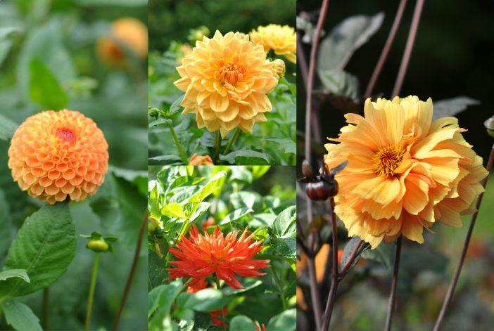 Blomsterbed med dahlia i abrikosfarver