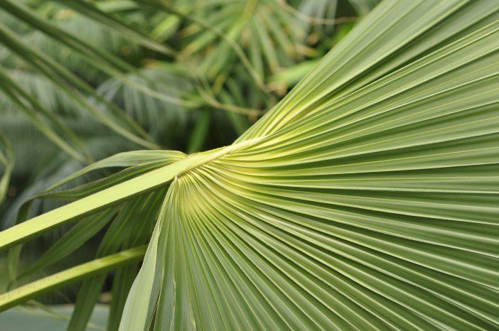 Palme i Palmehuset Botanisk have København