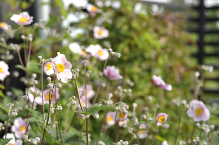 Høstanemone i fuldt flor