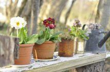 Primula på havebænken