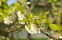 Blomstrende blommetræ