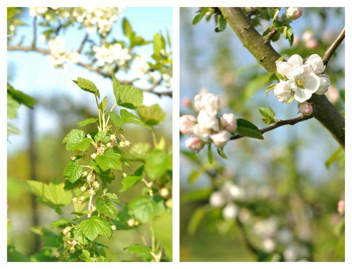 Blomstrende frugttræer og frugtbuske