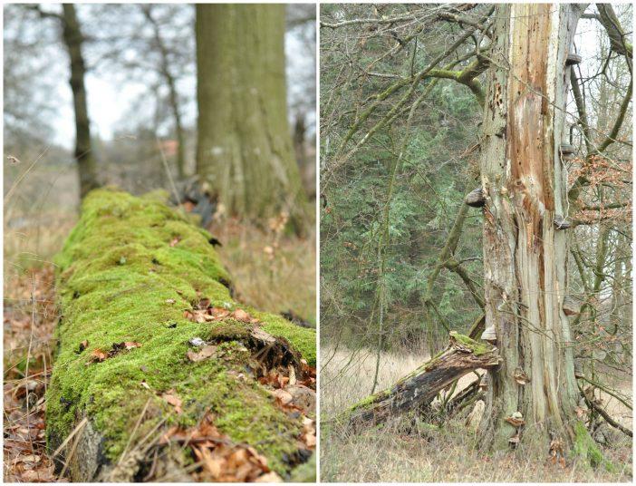 Urørt skov i Lekkende dyrehave - knækkede træer og mos