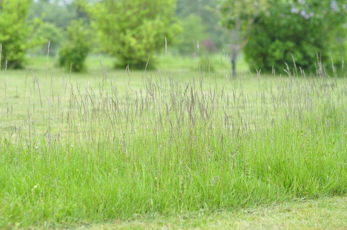 Den vilde plæne med svajende kvikgræs