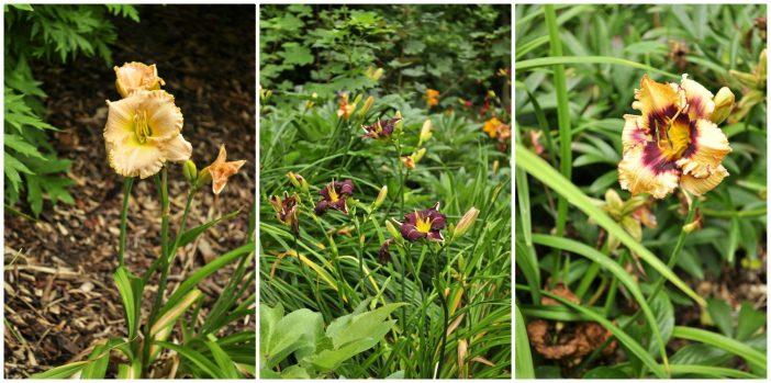 Collage af liljer fra Peter Hansens have