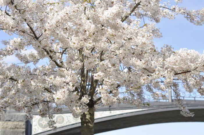 Blomstrende kirsebærtræer på Langelinie