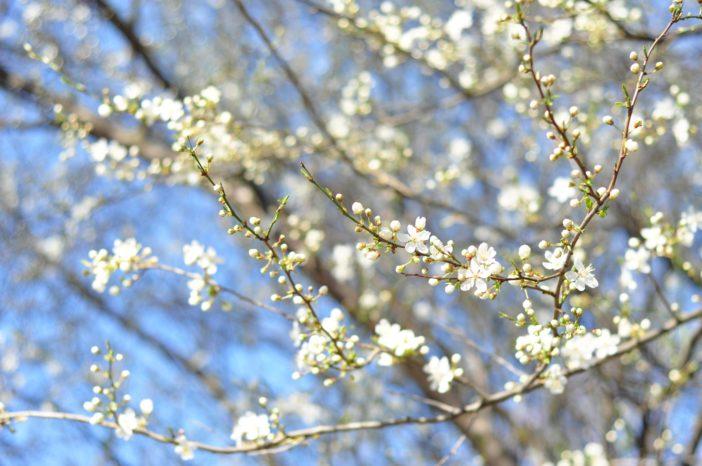 Blomstrende mirabelletræer