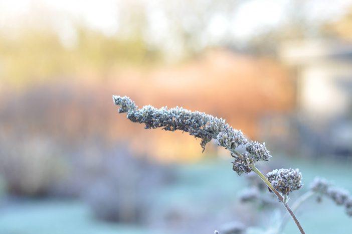 Sommerfuglebuskens frøstand om vinteren