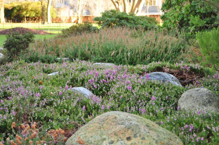 Vårlyng blomstrer i Landbohøjskolens have