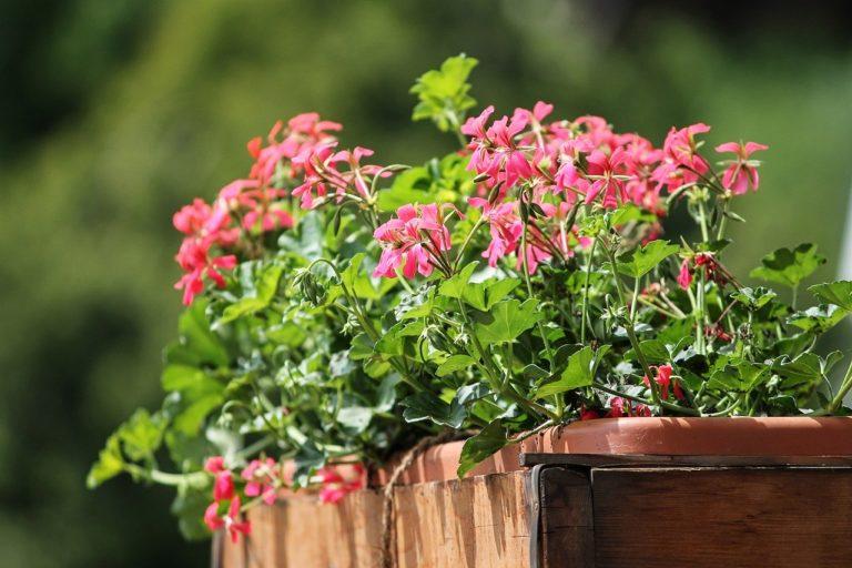 bienenfreundliche balkonpflanzen