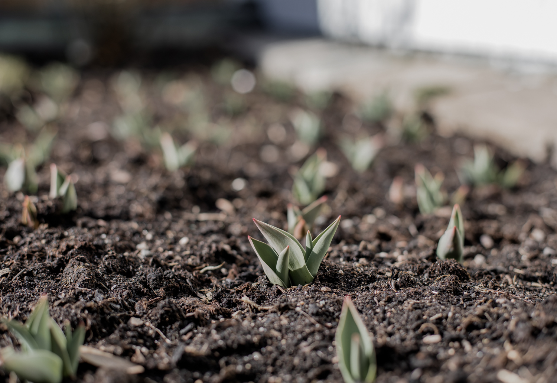 Plantera tulpaner