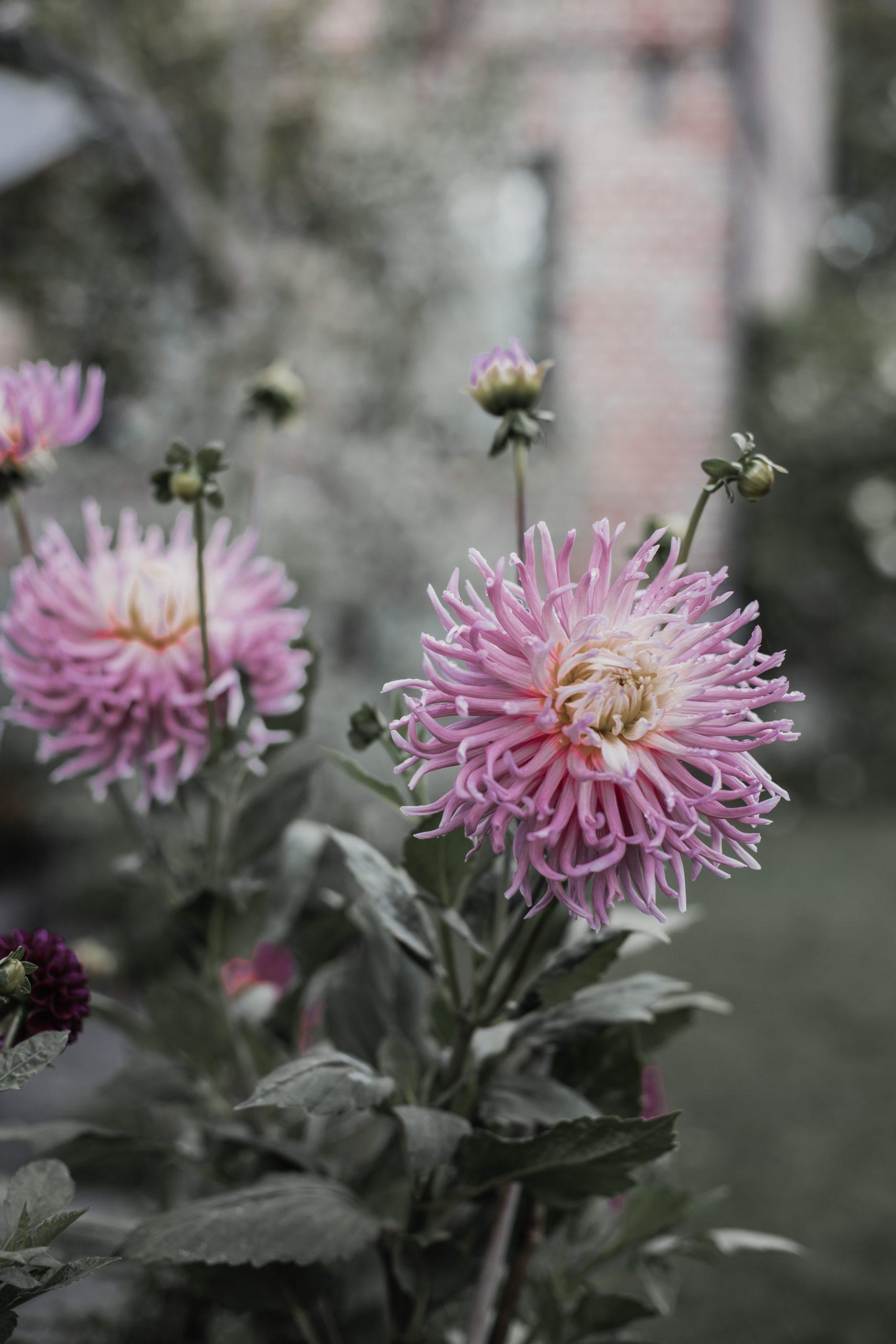 Dahlia trädgård