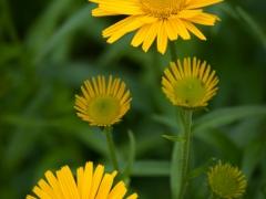blommor-30