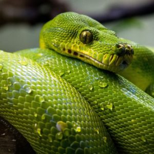 green-tree-python-1014229_1280