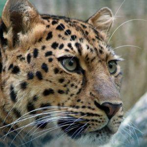 leopard-400274_1920