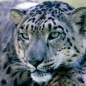 snow-leopard-1305078_19201