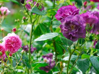 Rosa och lila rosor.
