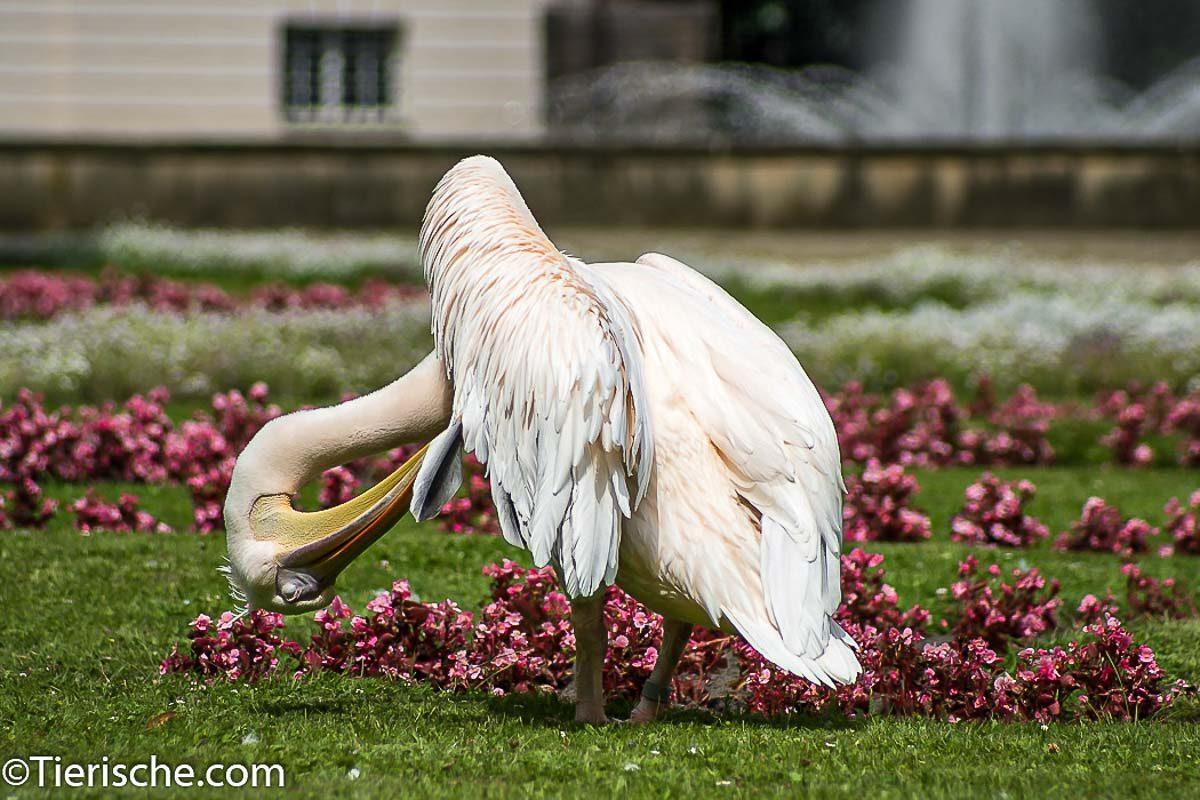 Pelikan Putzt sich wie putzig