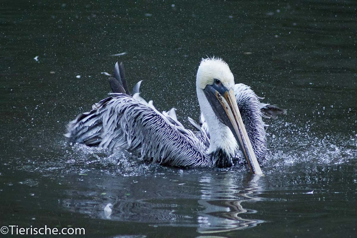 Pelikan schwimt im Wasser im Berliner Tierpark