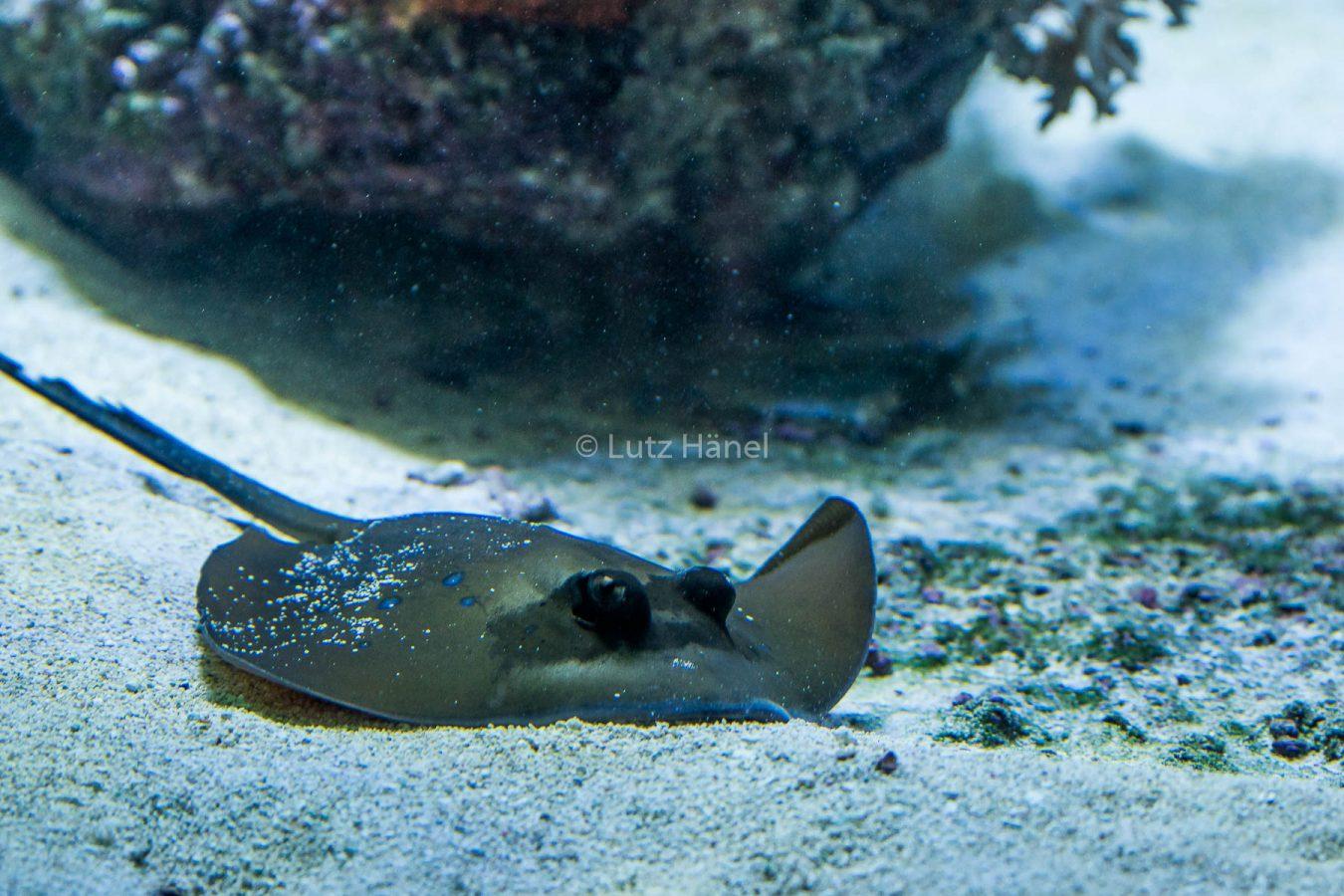 Rochen sind intresantte Meerestiere