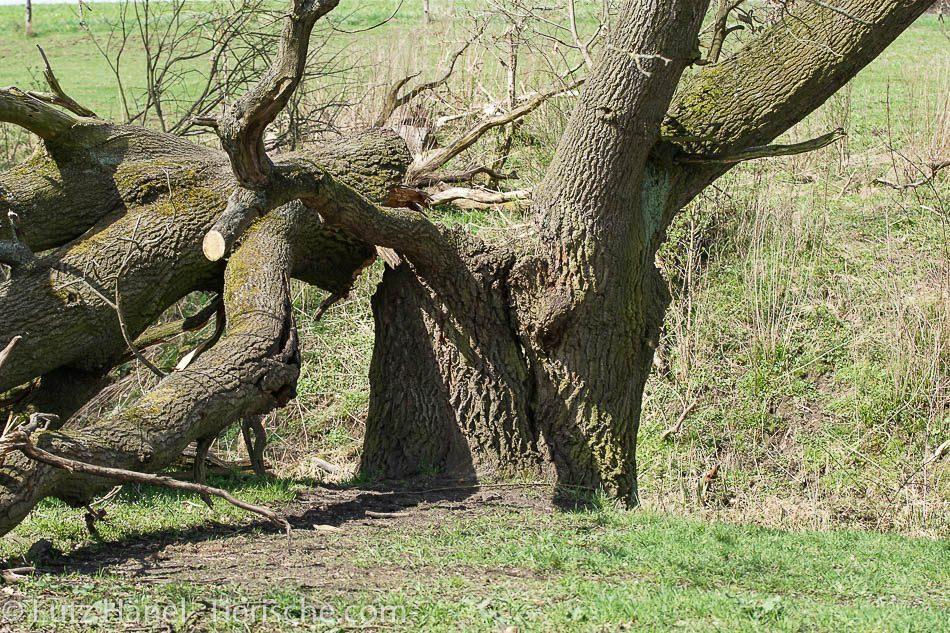 Einer der schönsten Bäume am Löwenzahnpfad hat den Sturm 2017 nicht überstanden.